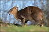 Muntjac (image 1 of 3) (Full Moon Images) Tags: rutland water wildlife trust nature reserve animal mammal muntjac deer