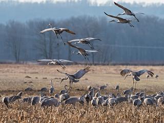 IMGPJ32686_Fk - Jackson County Indiana - Migratory Birds - Ewing Bottoms - Sandhill Cranes