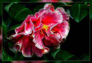 January Camellia Exhibition at the Flora Cologne from 18 January to 14 April 2018