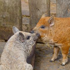 Mangalitza piglets, Mary Arden's Farm, Wilmcote (Dave_A_2007) Tags: susscrofadomesticus animal mammal nature pig wildlife wilmcote warwickshire england