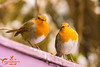 Robin Pair Posing (SLHPhotography1990) Tags: robin garden bird nature native british wild wildlife pair duo couple