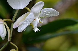 Wet white Moth Orchid