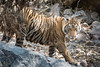 leaving the water hole (Tripping Along) Tags: ranthambhorenationalpark tiger wildlifephotography india