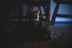 Chester (kevingrallphotography) Tags: cats cat kitten eveninglight moodylight moody kitchen bluehour canon canon50mm 50mm 50mmf10l f1