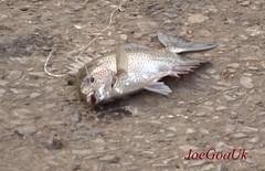 Fresh catch at the Ferry (joegoauk73) Tags: joegoauk goa fish fishing