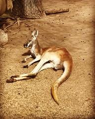 Kangaroo at Zoo - 1 (booboo_babies) Tags: kangaroo amarillo zoo amarillozoo australia lukebryan springbreak