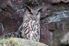Eurasian Eagle Owl (Simon Stobart (Catching Up and Editing)) Tags: red eurasian eagle owl bubo cliff face rocks northeast england uk wild naturethroughthelens coth5 ngc npc