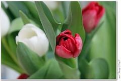 Tulpen (Mr.Vamp) Tags: blumen blume tulips tulpen rot weis mrvamp flowers flower