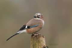 Evening Jay (Louise Morris (looloobey)) Tags: aq7i1824 jay hide march2018 perched evening warm neil