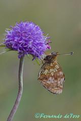 Brenthis ino (F de Toro) Tags: adulto aiguamog animales brenthisino butterfly catalunya charcas diurnal españa esterrideaneu fauna lepidopteros lerida mariposasdiurnas nymphalidae pirineo reverso spain valledearan