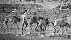 Keep calm and love cows (sufihalua) Tags: cow farmer reflection beard afternoon life strugglewithlife