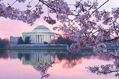 Pink blossoms (Theresa Rasmussen) Tags: tidalbasin morning cherryblossoms washingtondc sunrise pinkskies reflections peakbloom jeffersonmemorial nationalmonuments