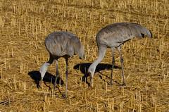 Sandhill Cranes (Antigone canadensis) Candelaria Farms, Albuquerque Jan 27 2013 (ben andres) Tags: sandhillcrane newmexico antigonecanadensis