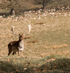 Stag at Petworth Park, West Sussex (Simon Taylor Local Photographic) Tags: deer stag westsussex parl petworth outdoors antlers masculine