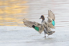 Green-wing Teal (Peter Stahl Photography) Tags: edmonton alberta canada ca teal spring snow ice greenwingteal