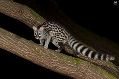 Gineta, Genet (Genetta genetta) (Nuno Xavier Moreira) Tags: fuinha beechmartenmartesfoinaemliberdadewildlifenunoxavierlopesmoreirangc piças animals animais nature natureza selvagem pics wildlife wildnature wild photographer portugal ao ar livre ngc nuno xavier moreira nunoxaviermoreira liberdade national geographic mamiferos mammals all xpress us genettagenetta commongenet smallspottedgenet