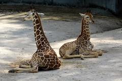 Memphis Zoo (Tiger_Jack) Tags: memphiszoo memphis zoo zoos zoosofnorthamericas itsazoooutthere giraffe giraffes