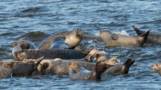 Harbor Seals of Sandy Hook   2018 - 1