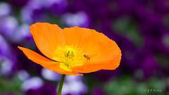 有花的地方就有蜂 (幻影留梦) Tags: gibbs garden early spring flower poppy papaveroideae colors georgia south living sony fe 24105mm f4 g oss lens sel24105g