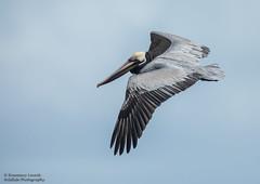 Brown Pelican - Pelecanus occidentalis (rosebudl1959) Tags: 2018 birds brownpelican trinidadtobago manzanillabeach trinidad