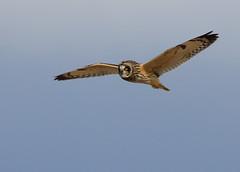 Short Eared Owl (rwilhelmsen) Tags: shortearedowl
