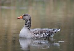 Greylag Goose Fowlmere RSPB 08-04-2018-5159 (seandarcy2) Tags: goose greylag fowlmere rspb cambridgeshire uk wildlife birds water foul