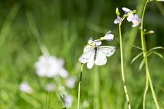 Kleiner Kohlweißling (Pieris rapae) (kalakeli) Tags: butterflies schmetterlinge kleinerkohlweisling pierisrapae wadfriedhof cemetery waldfriedhoflauheide