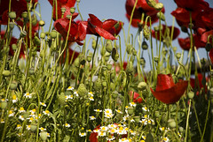 Hiding (jimiliop) Tags: flowers spring nature red poppies green naturelovers springishere greece flora chamomile hiding life sky lowangle lowpov beauty colors herbs