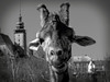giraffe_bw_jihlava (ladic_1) Tags: panasonic dmcfz50 bw giraffe photo black white zoo