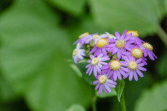 Flores de Mayo (inma F) Tags: arbol barranco colores flor flores verde violeta flordemayo flowerwildflower canaryisland islascanarias colour country rift