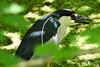 Black-crowned Night-Heron (M. Coppola) Tags: hillsborough blackcrownednightheron nycticoraxnycticorax lettucelakepark breedingplumage