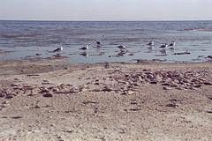 Salton Seagulls (bhop) Tags: salton sea california desert nikon f100 kodak portra 400 portra400 film ishootfilm filmshooter kodakfilm iso400 filmcamera dead fish skeletons wasteland c41 diy unicolor v700 50mm f18d colorfilm