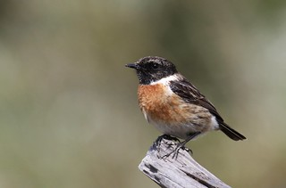 Male stonechat