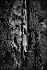 Joué L'Abbé (Sarthe) (gondardphilippe) Tags: jouélabbé sarthe maine paysdelaloire noiretblanc blackandwhite bw arbre tree nature bois