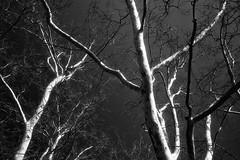 (Olli Tasso) Tags: trees tree blackandwhite twig branch sky budapest park hungary
