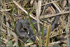 Grass Snake (image 3 of 3) (Full Moon Images) Tags: woodwalton fen greatfen bcn wildlife trust nnr national nature reserve cambridgeshire reptile grass snake
