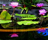 Intensity: Above and below (peggyhr) Tags: peggyhr waterlilies pond reflections hawaii thegalaxystars thegalaxy carolinasfarmfriends