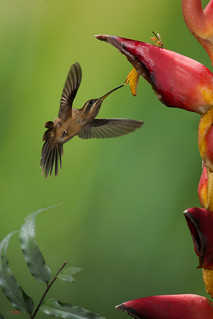 Hummingbird and Heliconia