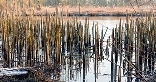 Reed stalks broken down - Afgebroken rietstengels