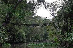 Misty morning on the jungle river (Wanda Amos@Old Bar) Tags: forest atmosphere wandaamos sabah bridge river jungle trees ropebridge backwater water bush kinabatanganriver