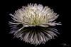 Spider Mum (J H Newton Images) Tags: macrodreams macro water reflection botanic floral flower mum spidermum