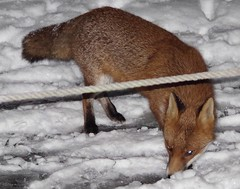Urban wild red fox in the snow  (5) (Simon Dell Photography) Tags: minibeastfromtheeast itvweather bbcwthrwatchers bbcweather jessopsmoment bbccountryfile bbcspringwatch sheffieldstar harrisoncameras wildlifemag sheffieldparknt wildsheffield parkssheffield urban red fox 3am this morning here sheffield vulpes snow garden city night time low light pentax dslr k50 samples sigma 150500mm lens stunning nature wildlife animal keep ban hunting for food