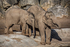 Pretend nothing's happening (JKmedia) Tags: asian elephant boultonphotography 2018 february chesterzoo close animal trunk indian hiwayherd baby calf dirty soil sand brown sibling drinking pool water curly