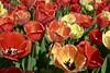 DSC04603 (derek_2001) Tags: tulips noordwijk holland bollenveld field