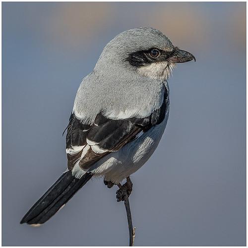 03 - American Butcherbird