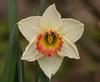 Narciso (G.Sartori.510) Tags: pentaxk5 carlzeisssonnartzk180mmf28 narciso daffodil narcissus