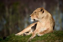 DSC_9747-Edit (TDG-77) Tags: nikon d750 tamron 150600mm vc animal nature yorkshire wildlife park lioness lion