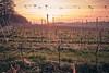 Vineyard (juergenbarth) Tags: vines morning sunrise sun repetition early wine vineyard europe germany kraichgau hills neuenbürg