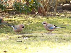 Bird (PL) - Sójka (transport131) Tags: ptak bird ogród garden sójka jay garrulus glandarius