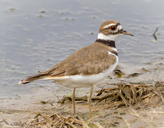Kildeer (tresed47) Tags: 2018 201803mar 20180312bombayhooknwr birds bombayhook canon7d content delaware folder kildeer march peterscamera petersphotos places season shorebirds takenby us winter ngc